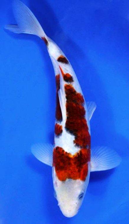 Bycaitlin goldfish and koi bycaitlin for Koi und goldfisch