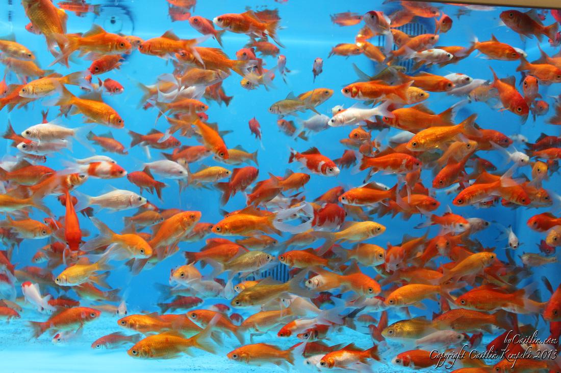 Bycaitlin goldfish and koi for Koi und goldfisch